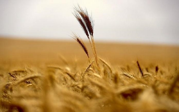 Maysan recorded the highest level of production of wheat and barley in its history